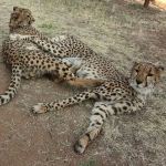 Production Still Cheetah Conservation Fund: Change for the Cheetah's Future #NoHoIFF
